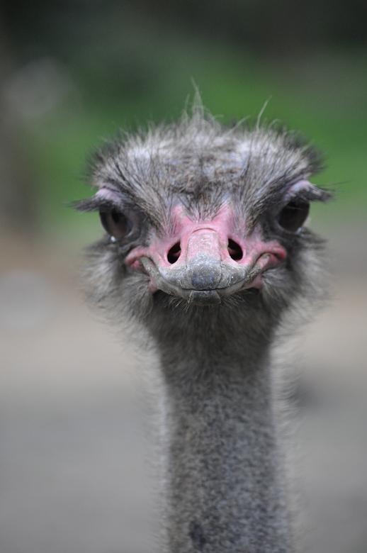 Kop uit 't zand - Struisvogel