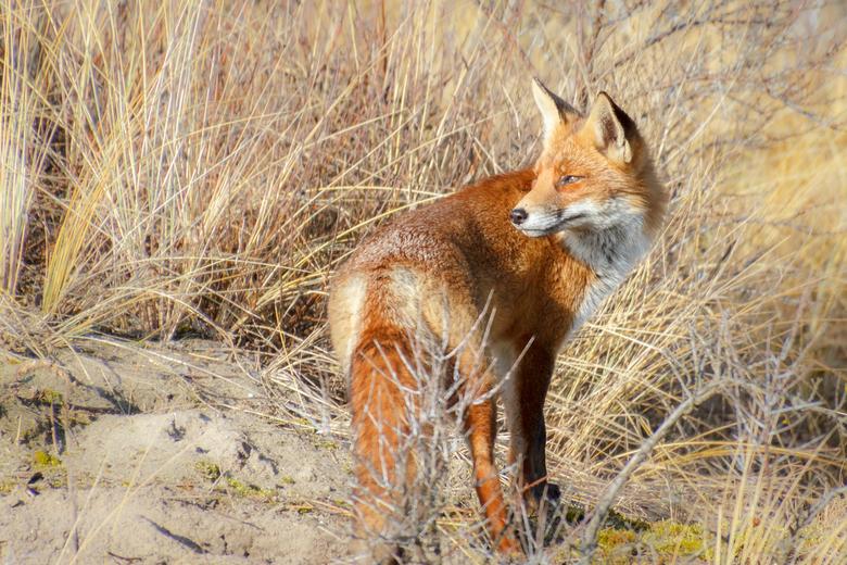 Kijk even achterom . . . . - Vandaag het geluk gehad om een vos voor de camera te krijgen. Mijn opzet was om in de Kennemerduinen, de paarden en of de