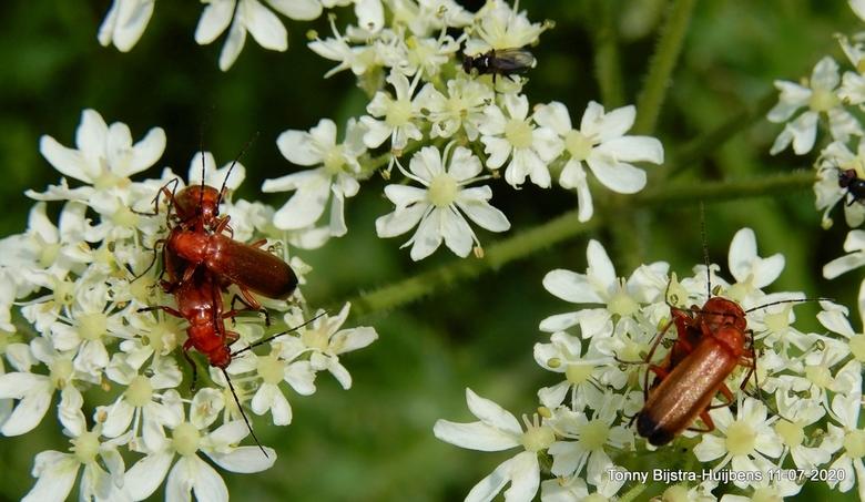 hoezo privacy? - de actieve roodachtige insecten zijn behoorlijk actief op de witte bloesem van de struiken die je oa bij het Fort in Nieuwegein tegen
