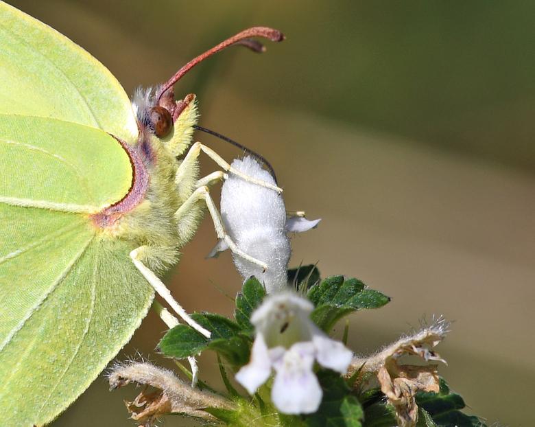 met suiker - Citroenvlinder overwinteren als volwassen vlinder. In het voorjaar paren de vlinders.<br /> <br /> Wij gaan er een paar weekjes tussenu
