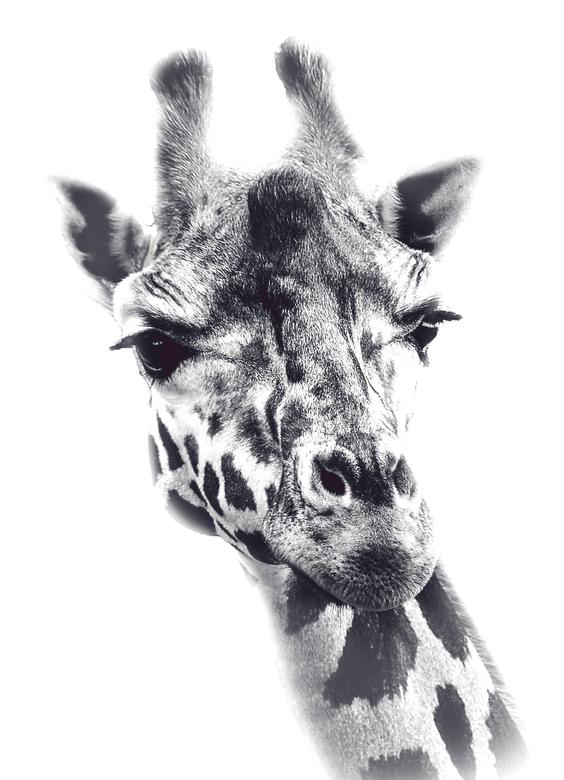 Giraffe WildLands Emmen - Wildlands Emmen