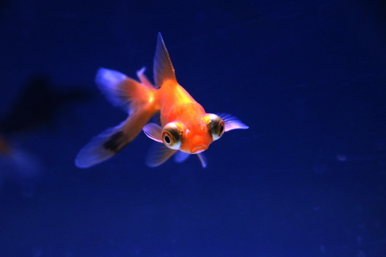 Aquarium -1- - De konijntjes, cavia's en andere knaagdieren zijn de deur uit gegaan, maar het tuincentrum heeft nog wel volop aquariumvisen in de