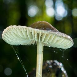 Een paddenstoel in het lingebos