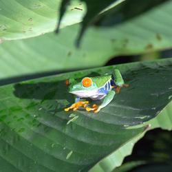 RoodoogBoomkikker Costa Rica