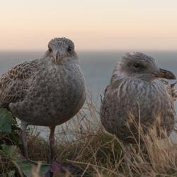 Birdlove in Etretat