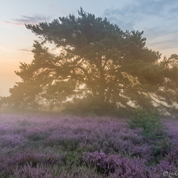 Misty sunrise Brunssummerheide