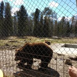 Bruine beren opvang in Lapland