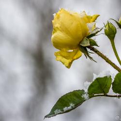 Rosa yellow meilove met ijskristallen