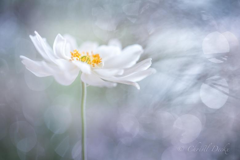 Anemone's universe  - Herfstanemoontje uit de tuin...