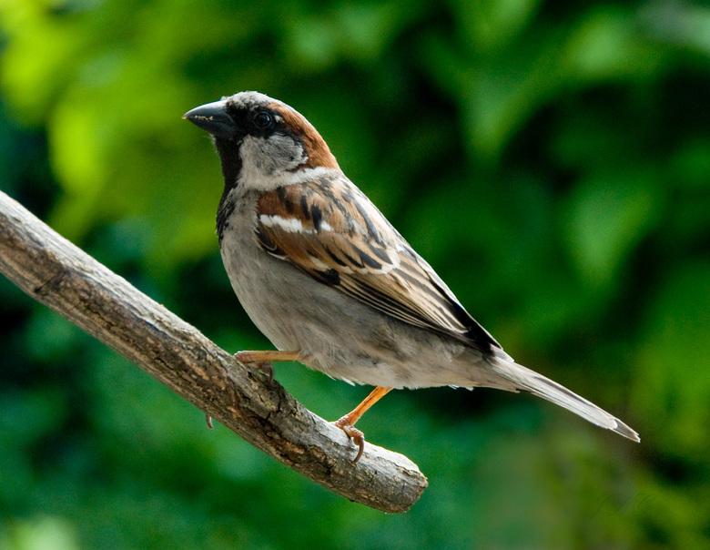 Huismus - Hoewel de naam huismus iets gewoons doet vermoeden is de vogel toch prachtig van tekening.