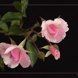 Een roos is een roos