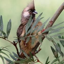 vogel met kuif
