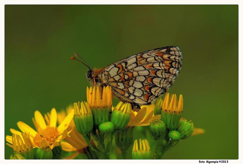 Westelijke parelmoer - Na al het wintergeweld nu weer eens tijd voor een vlindermacro; de bosparelmoervlinder.<br /> <br /> Iedereen bedankt voor de
