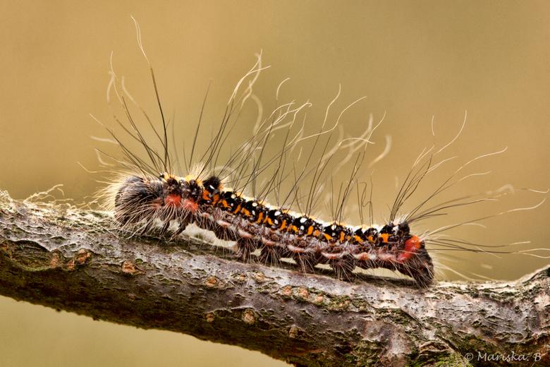 drietand - De drietand (Acronicta tridens) is een nachtvlinder uit de familie Noctuidae, de uilen.<br /> <br /> Geweldig toch, die kleuren en die ha