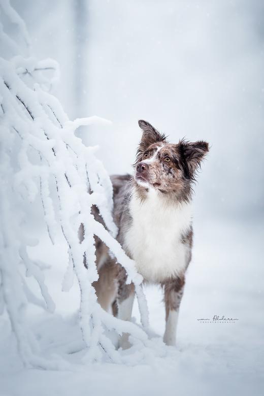 Faya in de sneeuw - Een portret van Border Collie Faya in de sneeuw. Tegenwoordig een bijzonder moment, des te meer genoot ik vanochtend van een prach