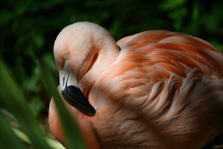 ff bijkomen - Zo maar, een plaatje van een Chileense flamingo. Deze vogel stond samen met zijn collega's rustig te wachten tot het vijvertje scho
