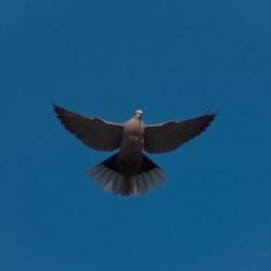 Turkse tortel duif