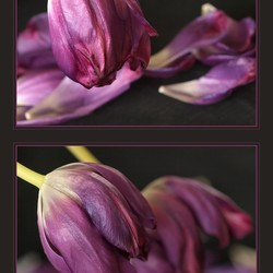 Tweeluik tulpen