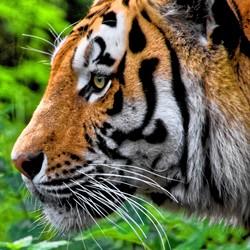 Tiger 2 Bewerkt