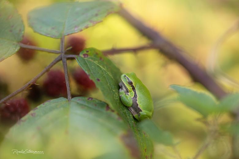 Hide and seek - Een boomkikkertje fotograferen was al een langere tijd een wens van mij. Afgelopen week zijn we op pad gegaan naar een plek waar ze zo