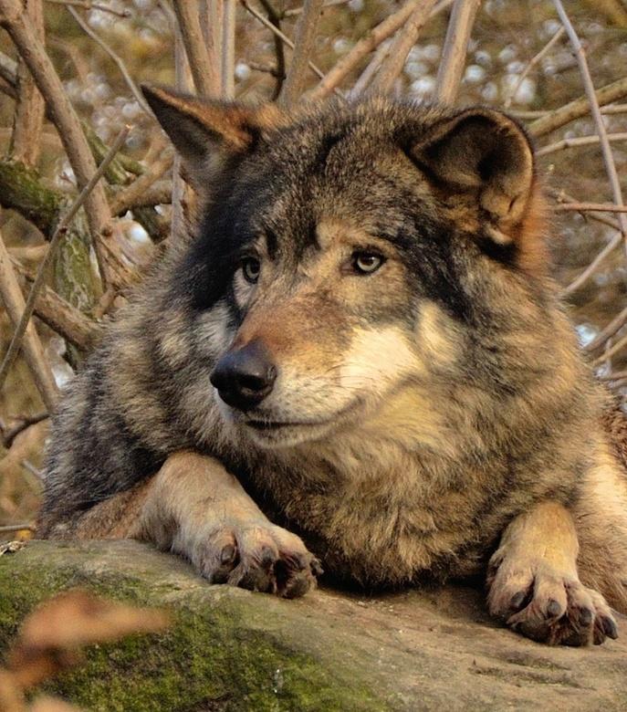 Wolf in Blijdorp - Dieren park Blijdorp Rotterdam.