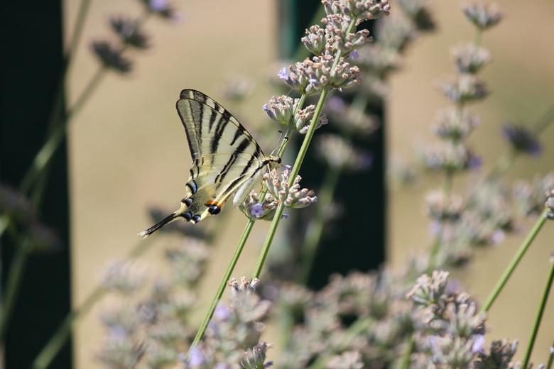 vlinder - vlinder close op