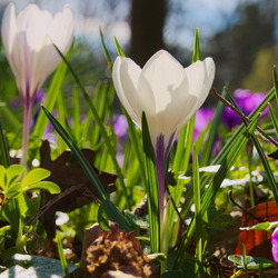Krokus in de lente zon