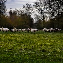 schapen in Zoetermeer