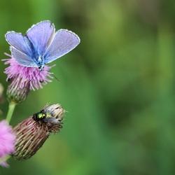 icarusblauwtje met gezelschap
