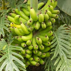 Bananen in vlindorado...