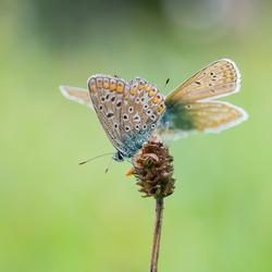 Bruine blauwtjes...........blijken toch Icarus blauwtjes (met dank aan lfoulon)