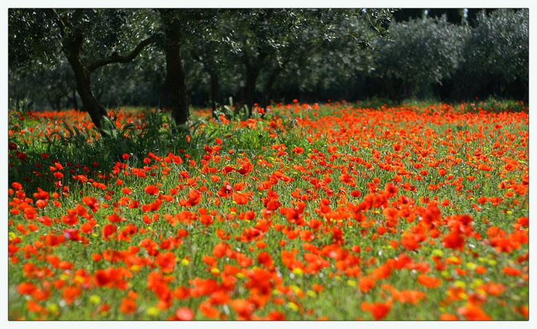 Poppies 2 - Klaprozen in een olijvenboomgaard. Zie voor verdere beschrijving ook de eerste foto.<br /> Bedankt voor jullie mooie reacties bij de vori