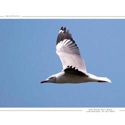 Grey-Headed Gull, Kenia