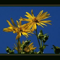 Gele bloem met blauwe lucht