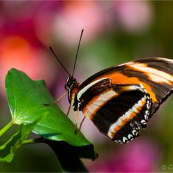 gehavende vlinder