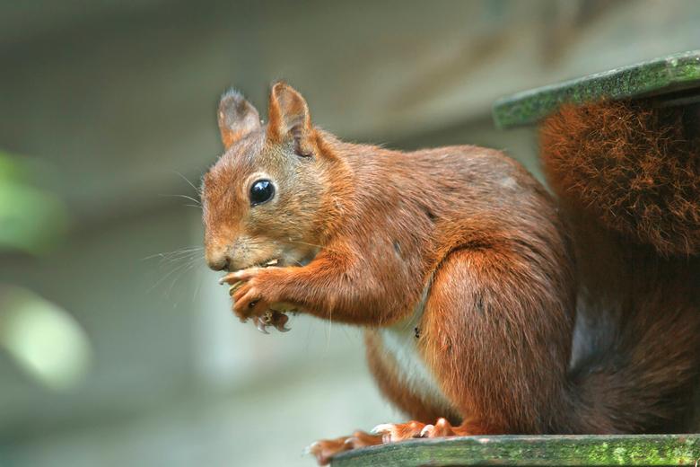 Psssss, niet verder vertellen heb een pinda gepakt! - Deze eekhoorn komt regelmatig even kijken in de tuin of er wat te halen valt, de foto is door he