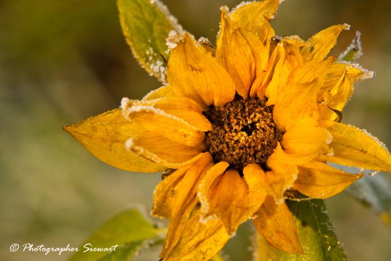 Zonnebloem in de dauw  - close up - Een zonnebloem in de dauw... Smorgensvroeg, in de winter...<br /> Daarom dacht ik. dat is wel een mooie foto!