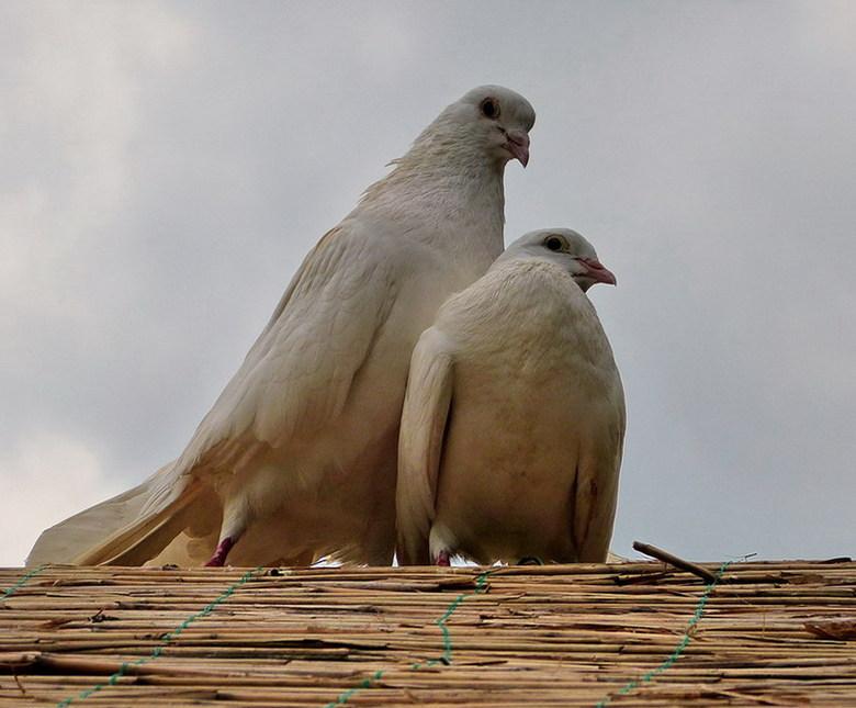 Vogel serie 182.duiven. - Verliefd.<br /> 25 mei 2013.<br /> Groetjes Bob.