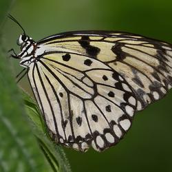 vlinder  -6-