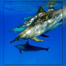 Het leven in de rode zee : Spinner dolfijn