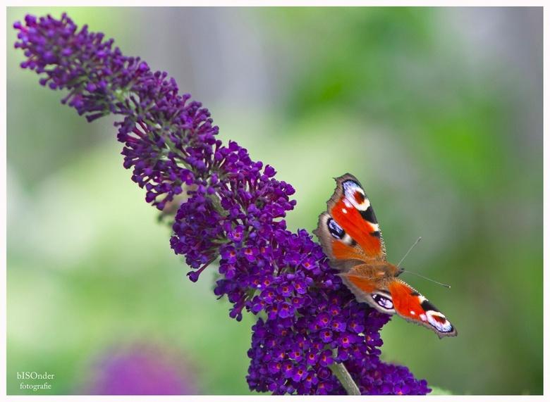 dagpauwoog - geweldig genieten zo met alle vlinders in de tuin.
