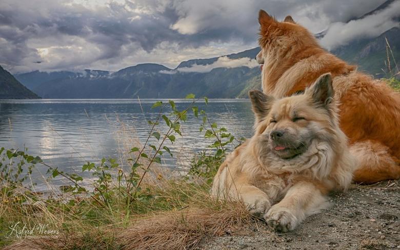 HKH Freyja II and Miss Bera Loving Norway - Noorwegen, Eidfjord.<br /> We zijn met 2 vrienden en 2 extra IJslandse honden(dus 4 mensen en 4 honden) o