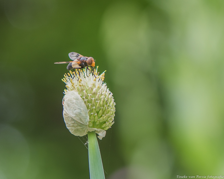 On top of.. the Alilum - Hij zat even stil op de Alilium…. geen idee welk insect. Maar ik was er blij mee.