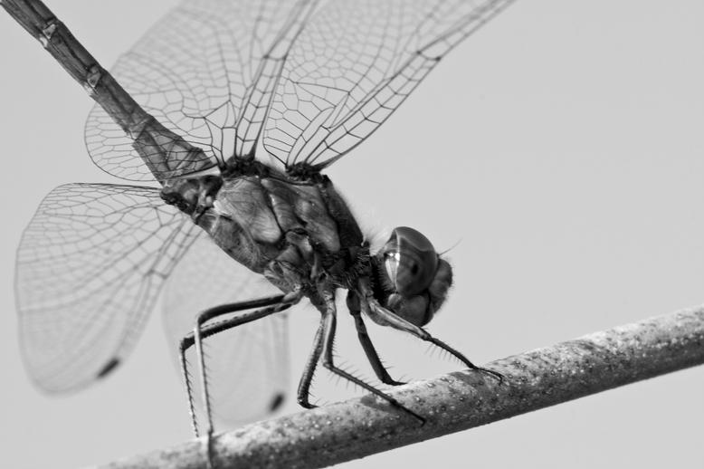 zwart wit libelle - Deze zat in het lekkere zonnetje, helaas waaide het een beetje te hard om hem helemaal stil te krijgen.<br />
