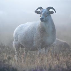 schaap in ochtend mist
