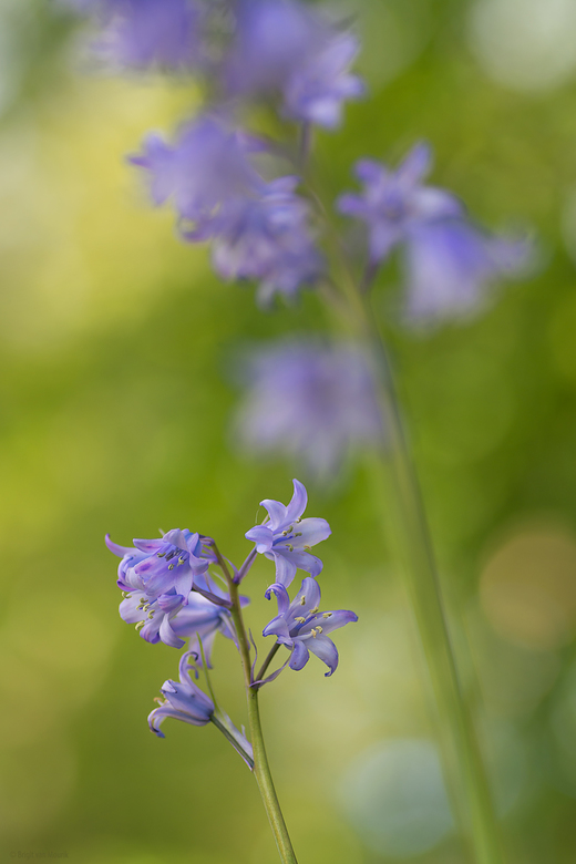 Blue bells -