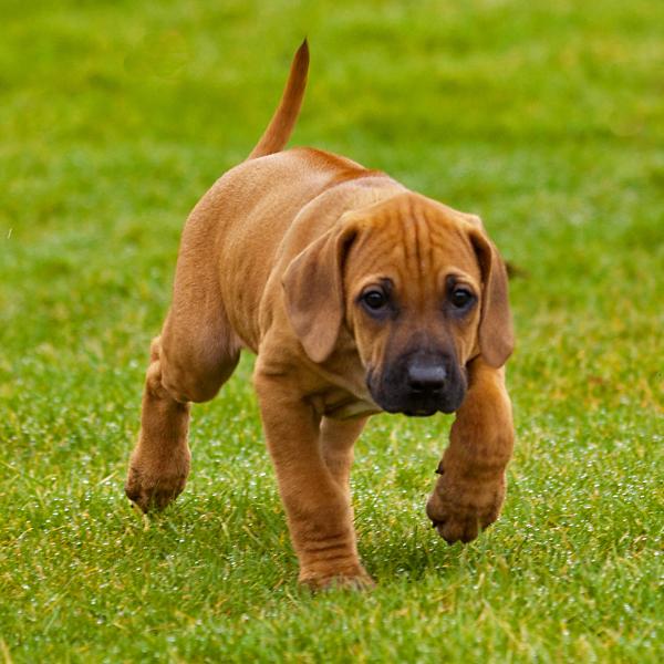 Kick - Sinds gisteren hebben we een nieuwe huisgenoot: Kick. <br /> Een Rhodesian Ridgeback van 8 weken oud. <br /> Nog even wat groeien en hij is m