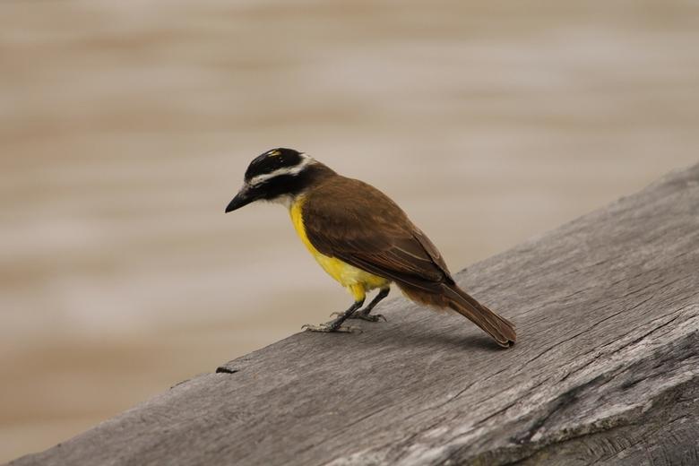 Vogel bij de Surinamerivier