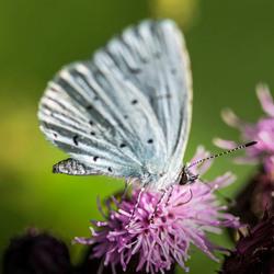 Vlinder boomblauwtje