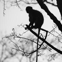 Vervet aap